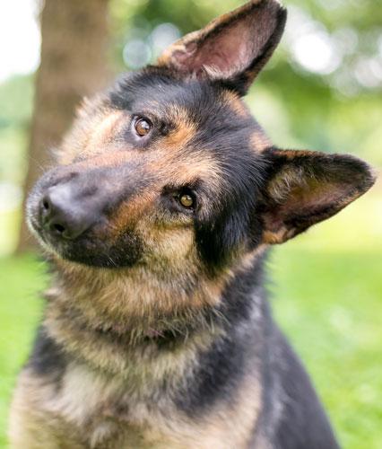 schaeferhund2
