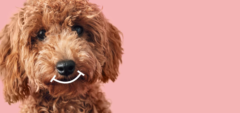 """Vor modernem rosanen Hintergrund ist das Hauptmotiv der emmi-pet """"damit putzig""""-Kampagne zu sehen: Ein hellbraun gelockter Pudel"""