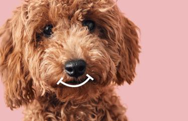 """Vor modernem rosanen Hintergrund ist das Hauptmotiv der emmi-pet """"damit putzig""""-Kampagne zu sehen: Ein hellbraun gelockter Pudel mit süß dreinblickenden dunklen Augen. Über seiner Schnauze ist ein stilisiertes weißes Lächeln in einfachen Linien zu sehen."""
